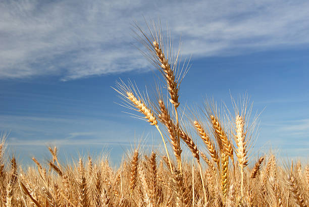Ripe Wheat stock photo