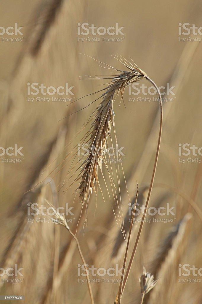 Ripe wheat royalty-free stock photo