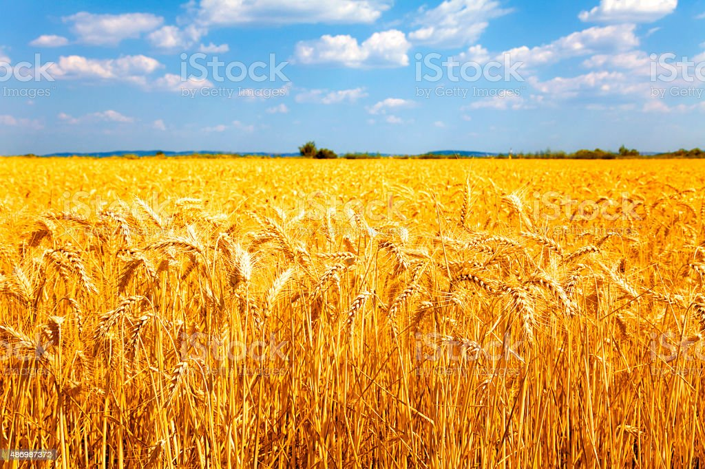 ripe wheat stock photo