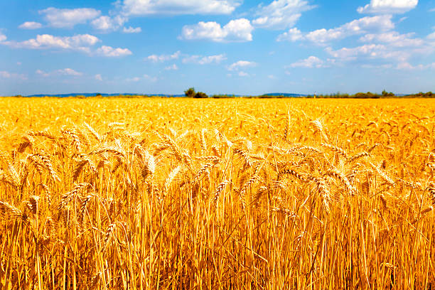 Reife Weizen – Foto