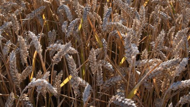 Ripe wheat texture. Plant cereal harvest time. Rural wheat farmland stock photo
