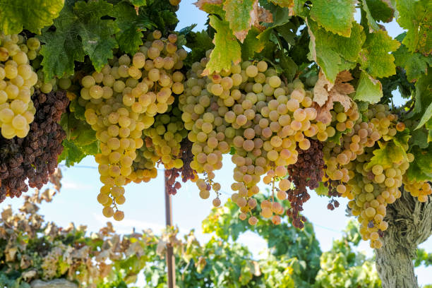 Ripe white grape growing in vineyard in Andalusia, Spain, sweet pedro ximenes or muscat, or palomino grape ready to harvest, used for production of jerez, sherry sweet and dry wines Ripe white grape growing in vineyard in Andalusia, Spain, sweet pedro ximenes or muscat, or palomino grape ready to harvest, used for production of jerez, sherry sweet and fino wines palomino stock pictures, royalty-free photos & images