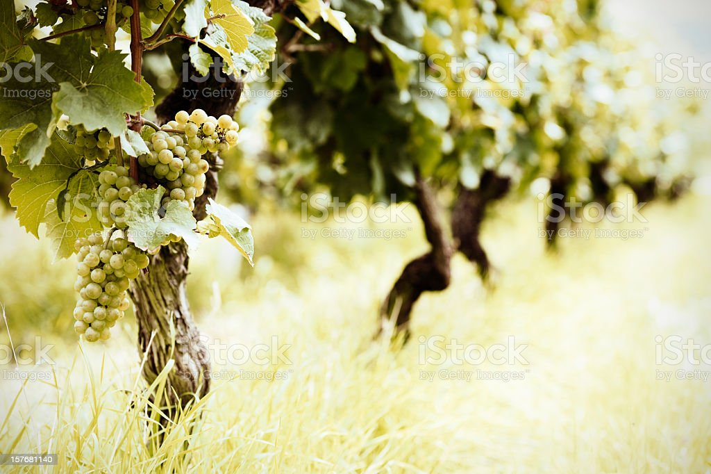 Ripe white Riesling grapes royalty-free stock photo