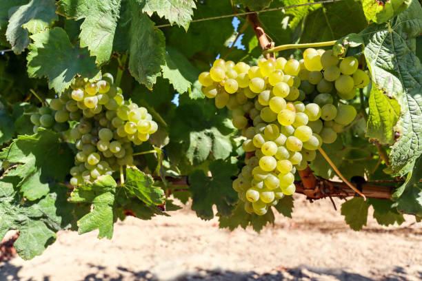 Reife Weißweintrauben vor der Weinlese in einem Weingut in einem Weingut, ländliche Landschaft für weinbaulichen und landwirtschaftlichen Weinbau in Portugal, Europa – Foto