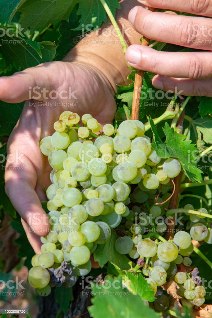 Ripe White Wine Grapes Plants On Vineyard In France White