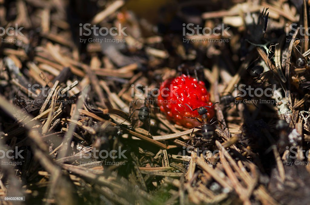 Ripe wild strawberry and ants stock photo