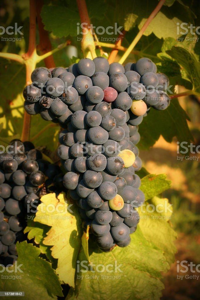Ripe Wine Grapes stock photo