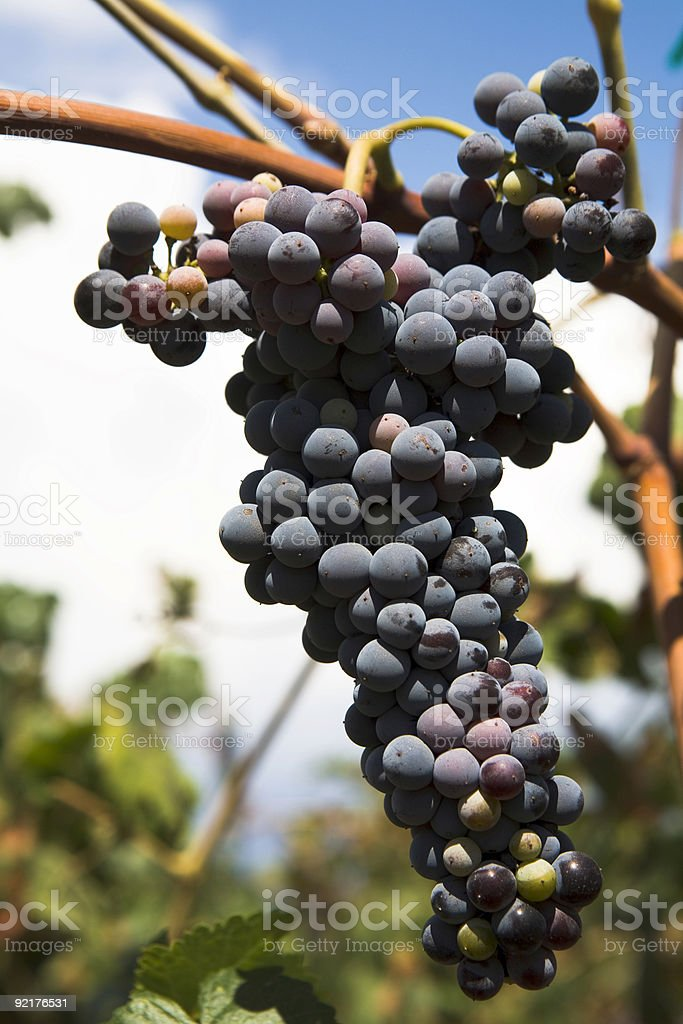 Ripe Wine Grapes royalty-free stock photo