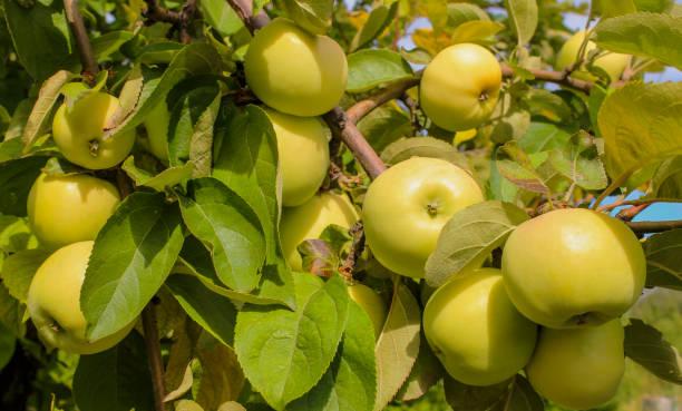pommes jaunes mûres - golden photos et images de collection