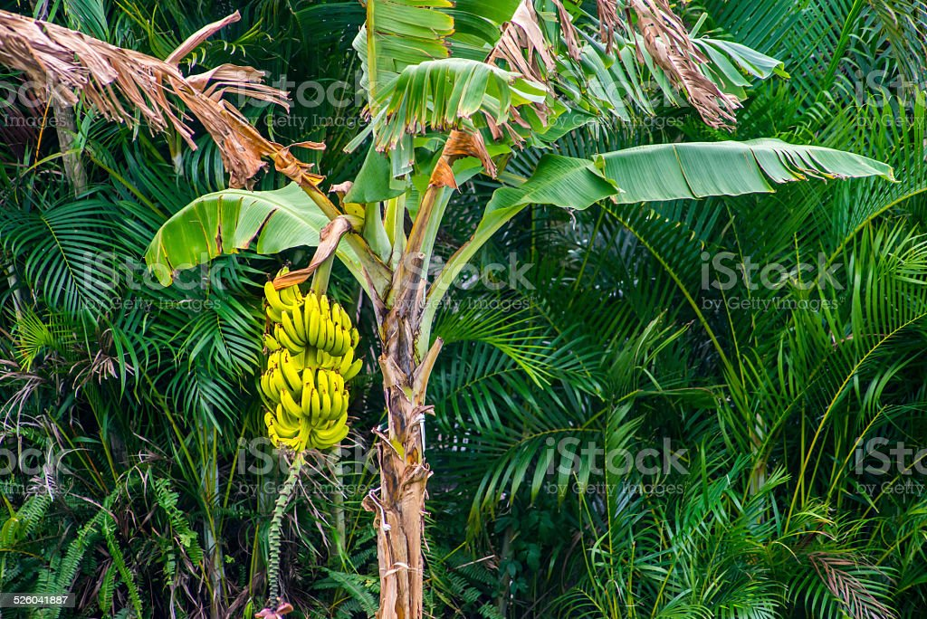 Ripe Yellow Bananas on a Tree stock photo