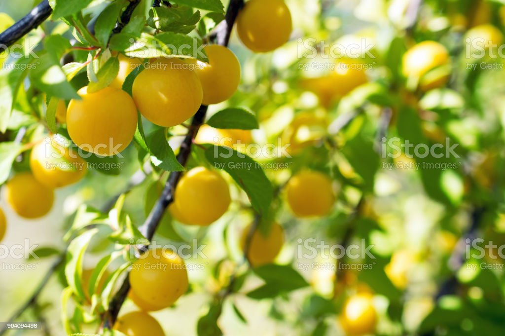 ripe yellow plums - Royalty-free Agriculture Stock Photo