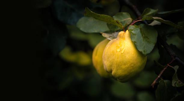 rijpe gele kweepeer vruchten met regendruppels groeien op kweepeer boom met groen gebladerte in zomertuin op donkere achtergrond met kopieer ruimte. - fruitboom stockfoto's en -beelden