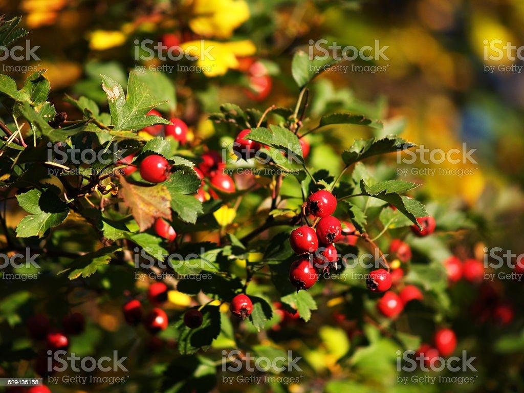 Riped scarlett hawthorn in the autumn stock photo