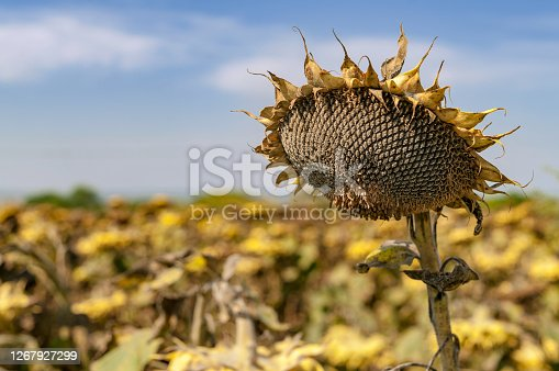 Ripened sunflower, ready to harvest seeds on the field before harvest.