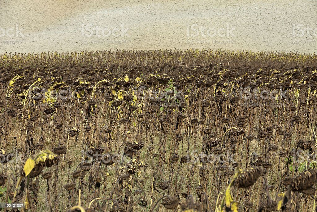 Ripened sunflowers royalty-free stock photo