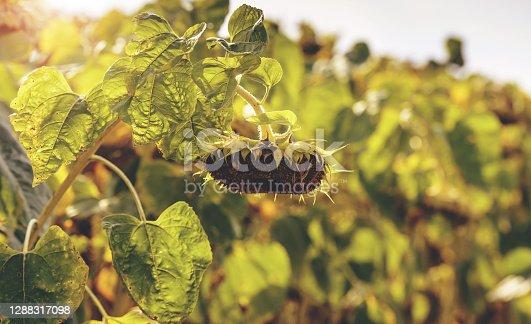 Ripened sunflowers ready for harvesting
