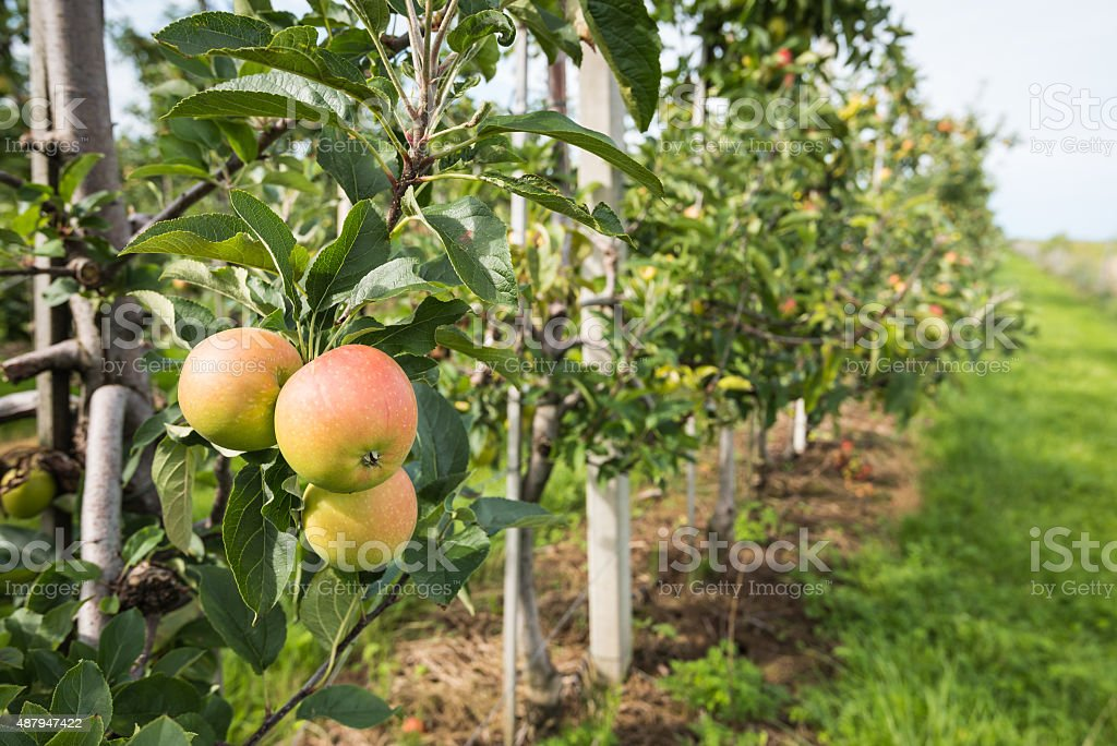 Ripening apples from close stock photo