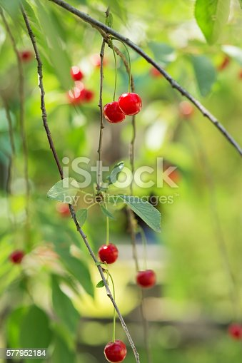 857345082 istock photo Ripening cherries on a tree in the garden 577952184