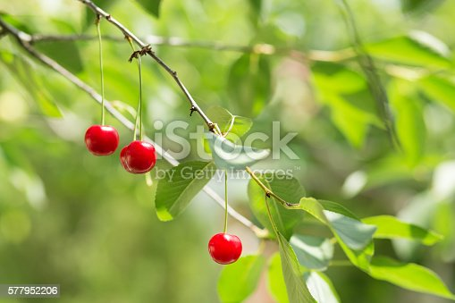 857345082 istock photo Ripening cherries on a tree in the garden 577952206