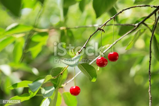 857345082 istock photo Ripening cherries on a tree in the garden 577952226