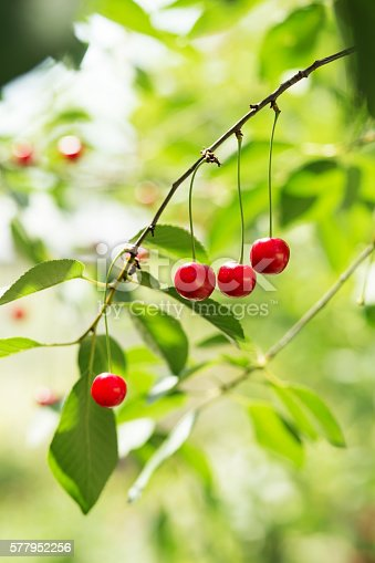 857345082 istock photo Ripening cherries on a tree in the garden 577952256
