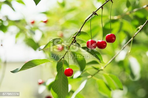 857345082 istock photo Ripening cherries on a tree in the garden 577952274