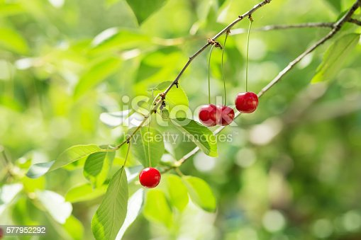 857345082 istock photo Ripening cherries on a tree in the garden 577952292