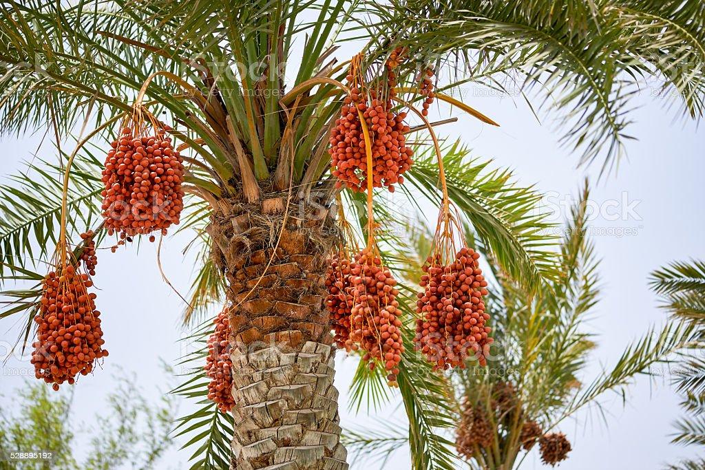 Ripening date palms stock photo