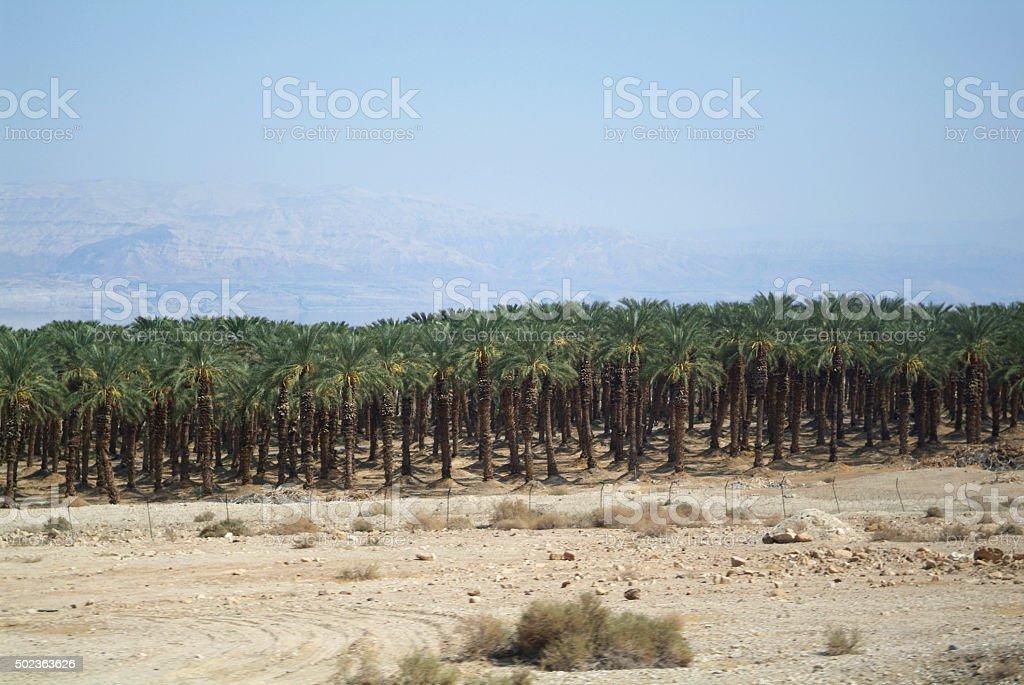 Ripening dates farm stock photo