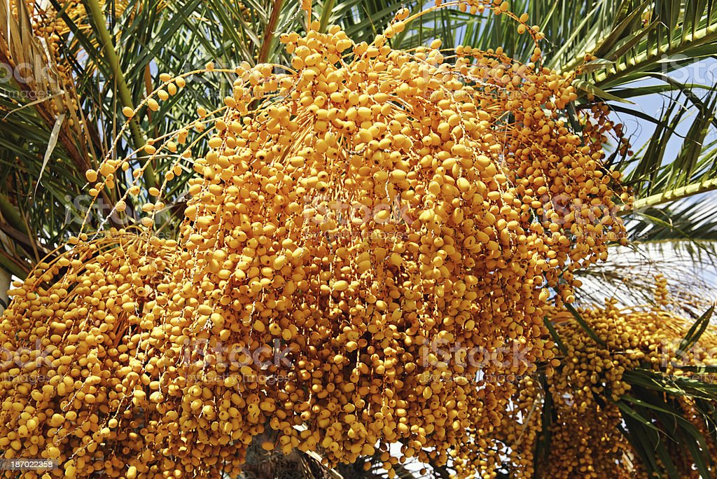 Ripening dates on a date palm tree. stock photo