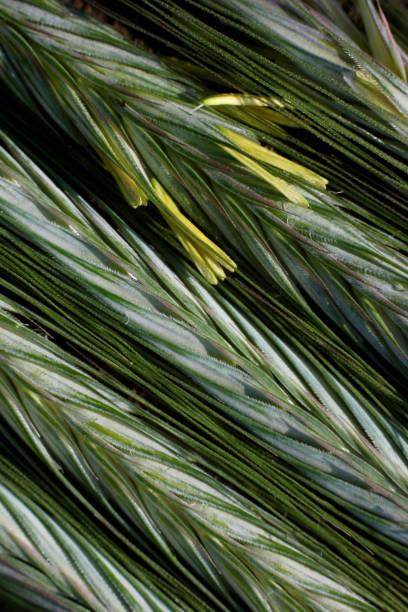 花粉でライ麦の耳を熟す ストックフォト