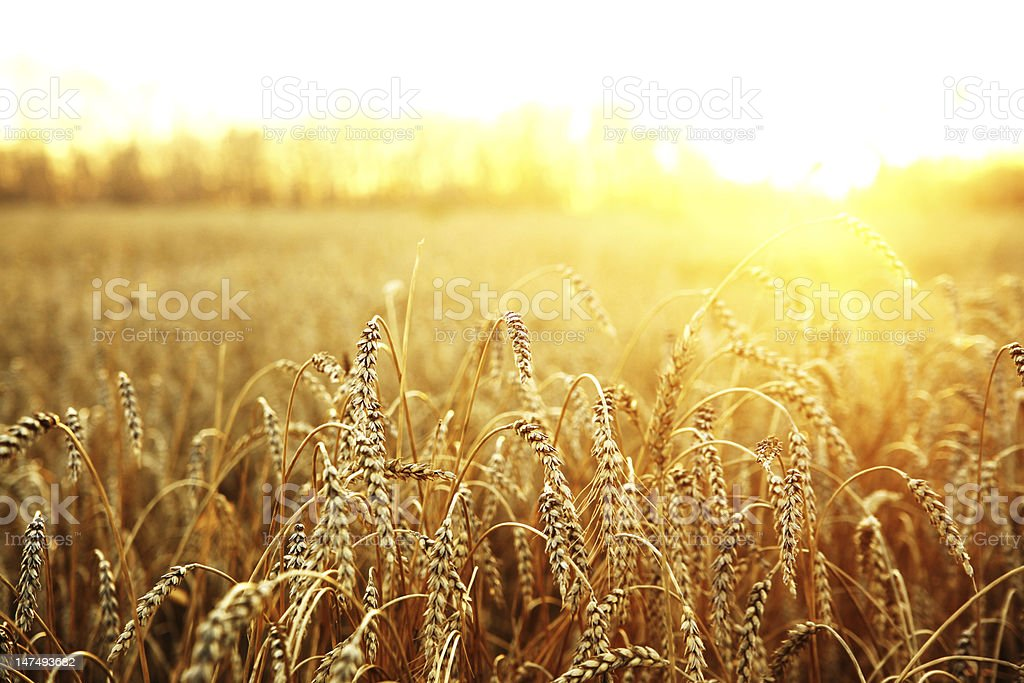 ripening ears of wheat field on the background royalty-free stock photo