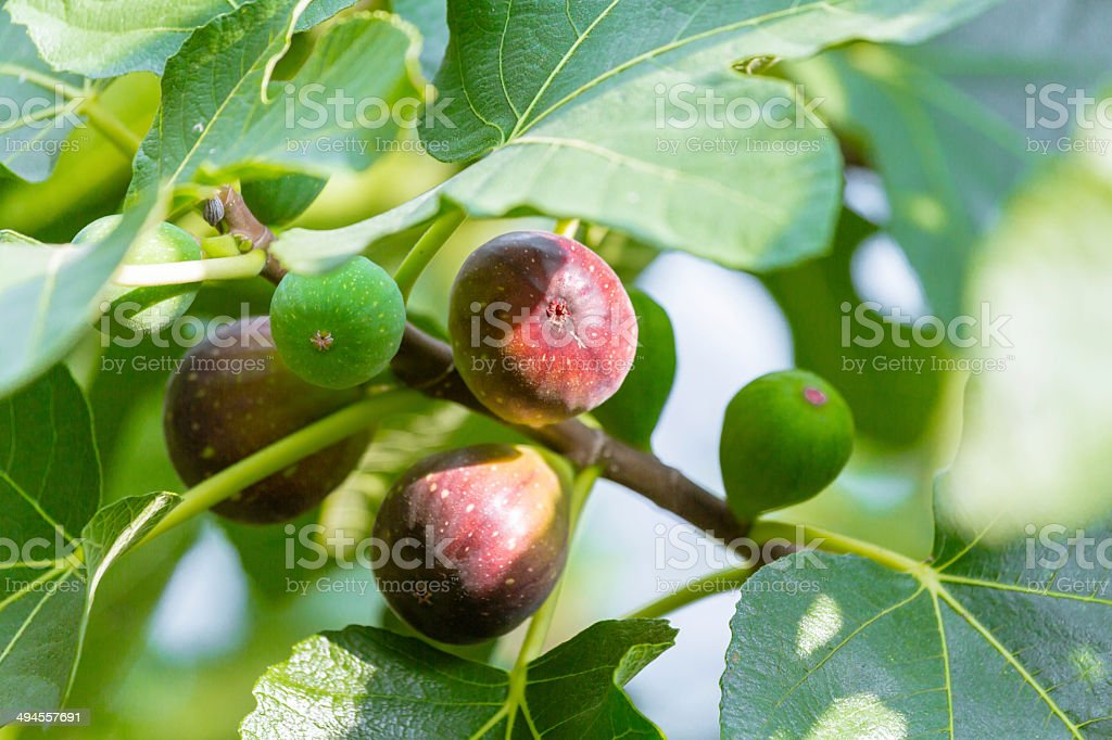 Ripening Fig Tree stock photo