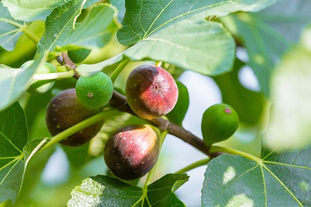 en pleine maturité fig tree - figue photos et images de collection