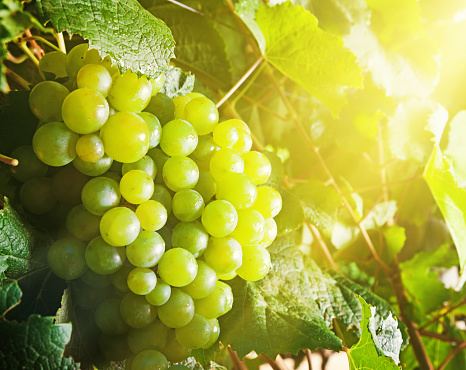 Ripening grapes glowing in the sunshine