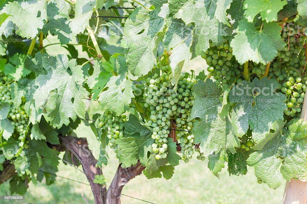 Ripening grapes on the vineyard closeup royalty-free stock photo