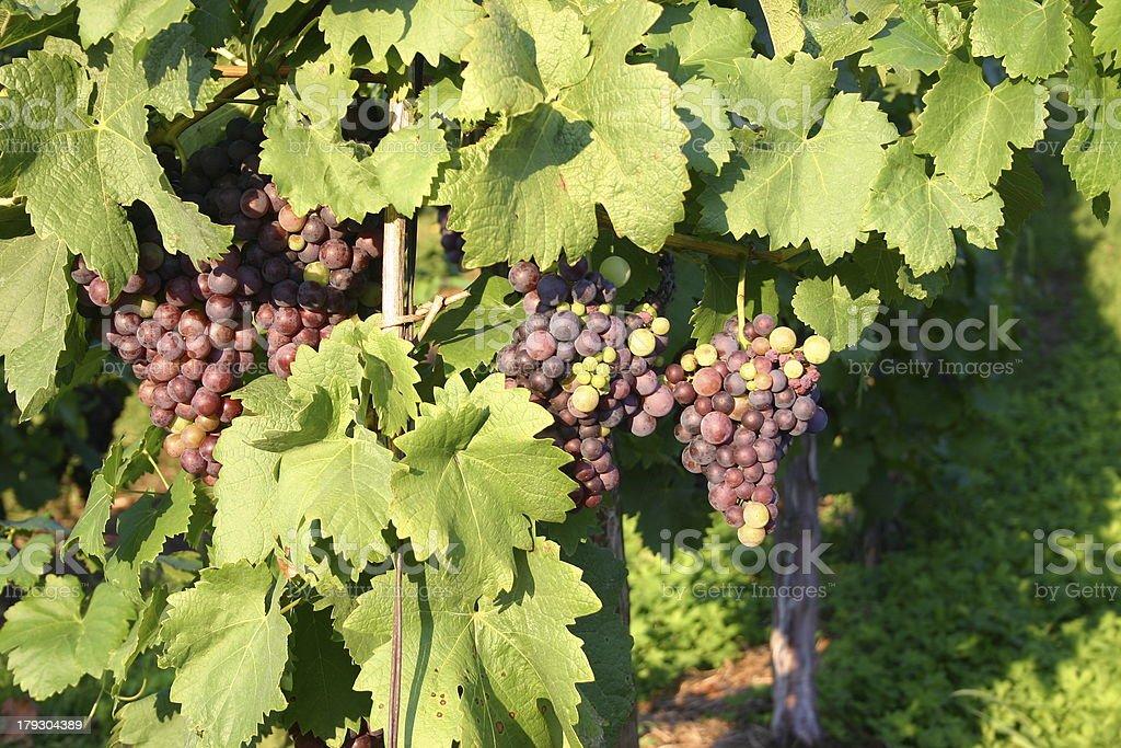 Ripening Grapes stock photo