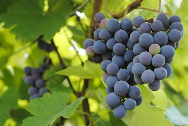 ripening grapes - ripe stock photos and pictures