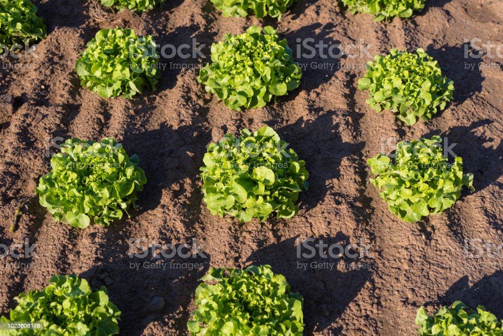 Reifung der kopfsalat an einem sonnigen Sommertag im Westen Deutschlands. Nahaufnahme Foto. – Foto