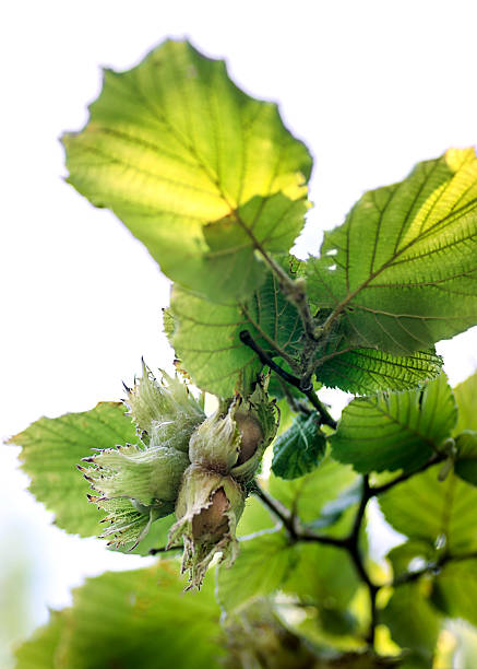 ripening hazelnuts on a branch - haselnuss baum stock-fotos und bilder