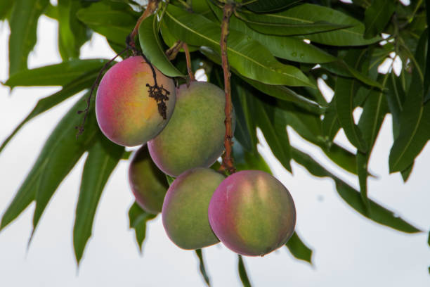 Ripening mangoes hanging from the tree. stock photo