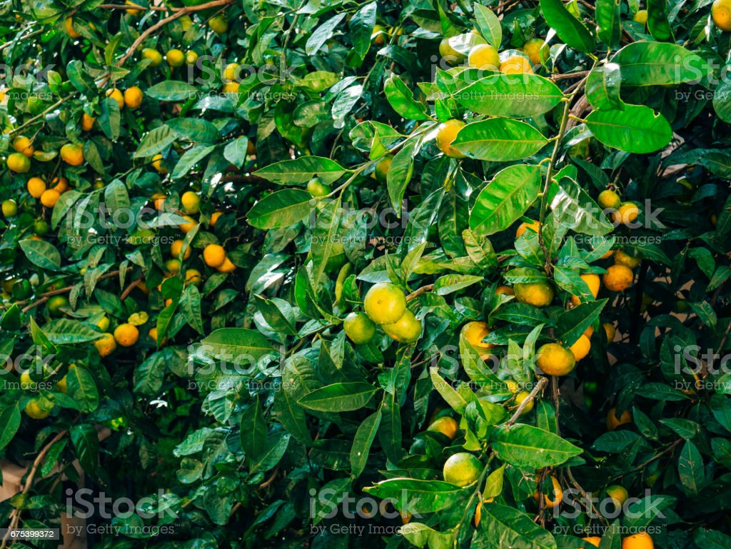 Ripening on the tree a tangerine. Montenegrin mandarin trees. Ho photo libre de droits
