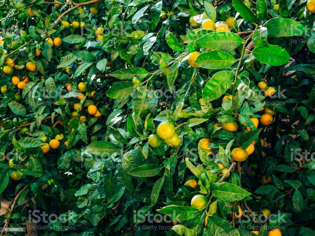 Ağaç üzerinde bir mandalina olgunlaşma. Karadağ mandalina ağaçları. Ho royalty-free stock photo