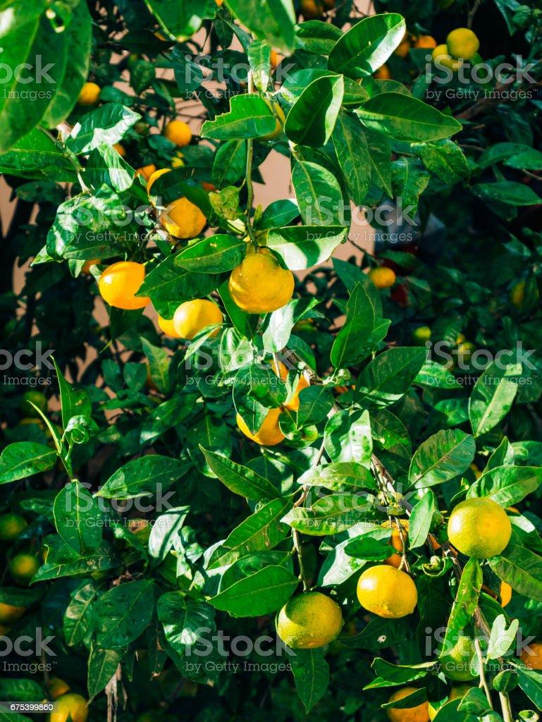 Maturation sur l'arbre une mandarine. Mandariniers monténégrin. Ho photo libre de droits