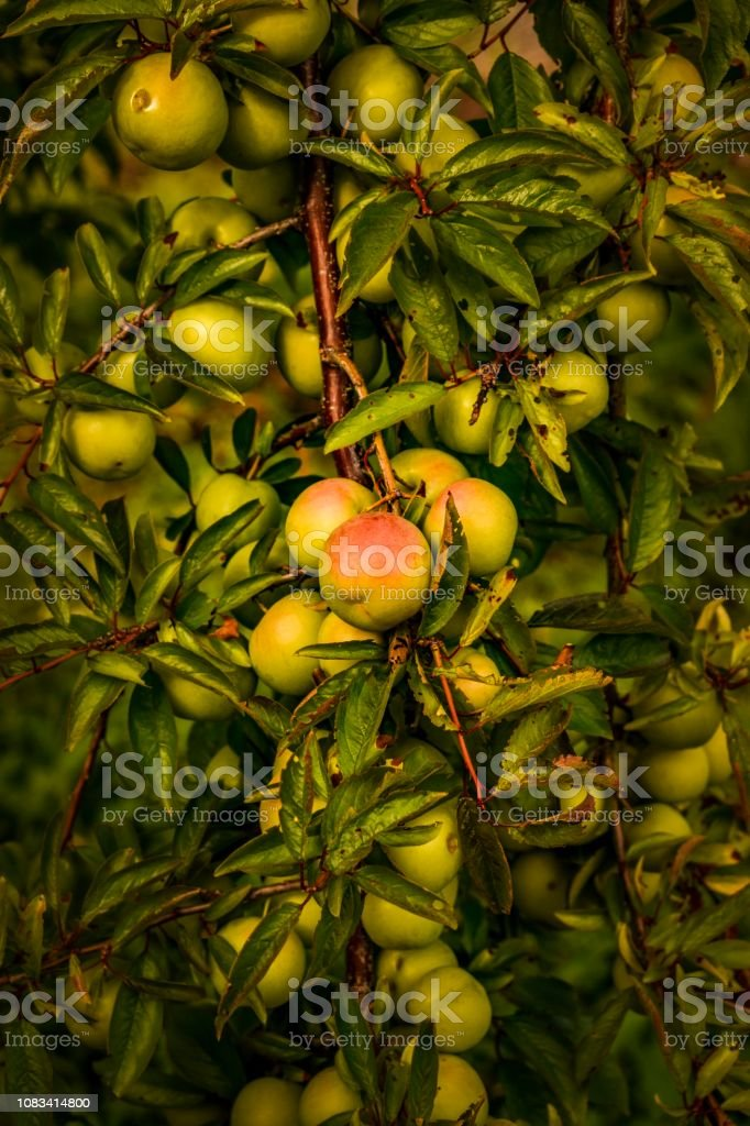 Ripening orchard apples in summer stock photo