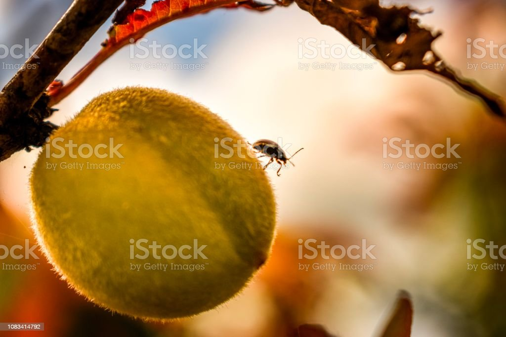 Ripening orchard peach with beetle insect and bokeh stock photo