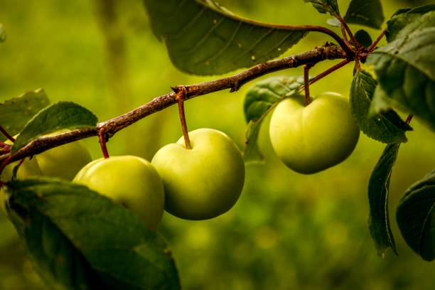 Ripening Orchard plums in summer with bokeh stock photo