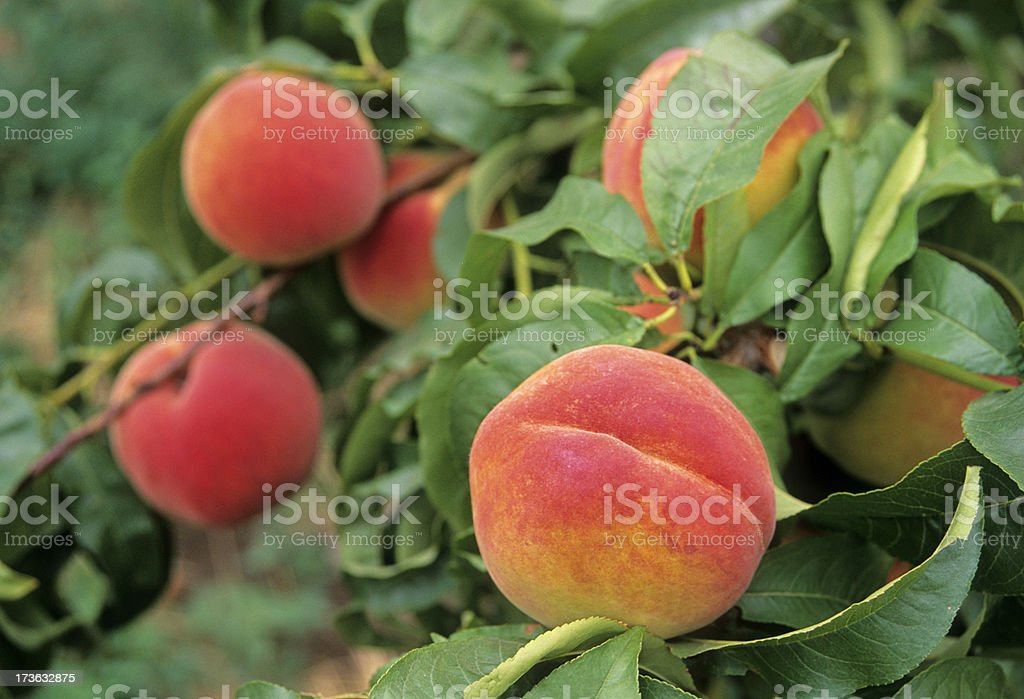 Ripening peaches royalty-free stock photo