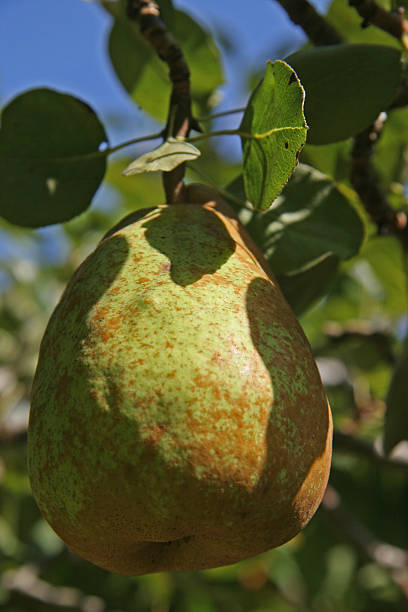 Ripening Pear stock photo