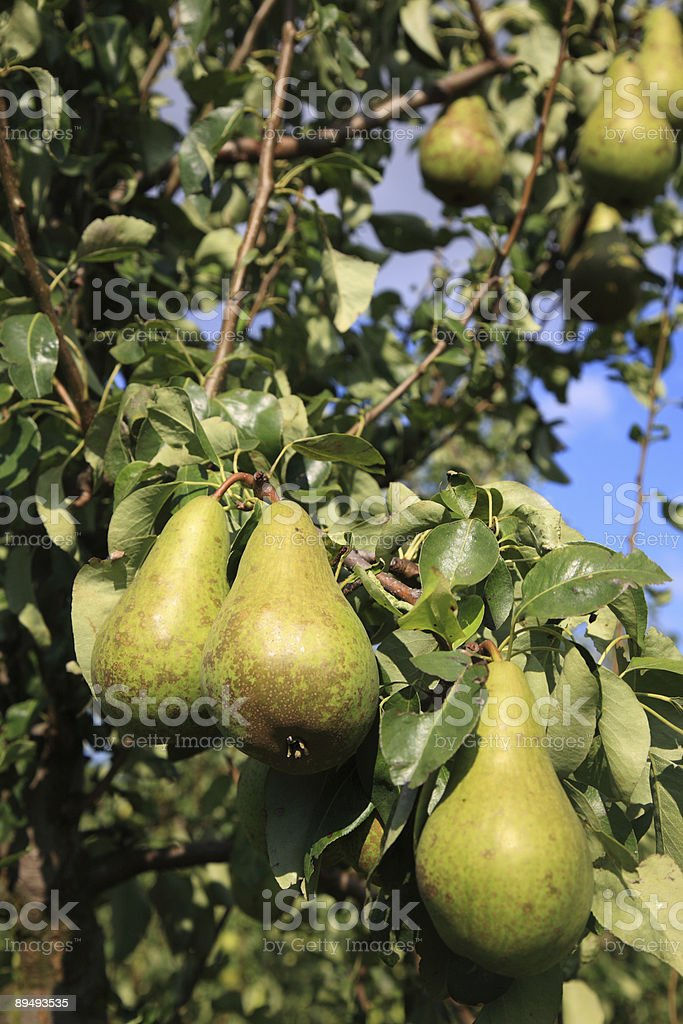 Ripening Pears royalty-free stock photo